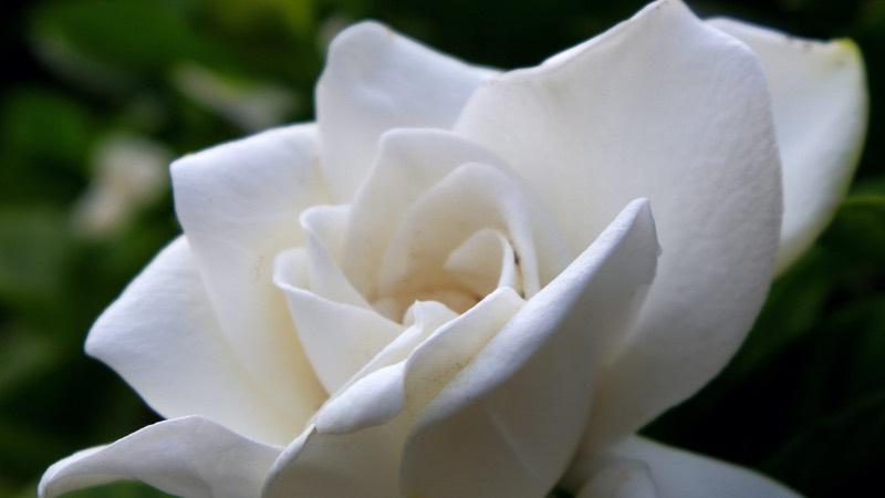 flower gardenia