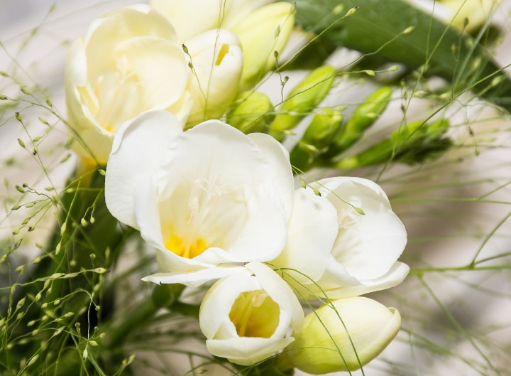 freesia flowers as gifts