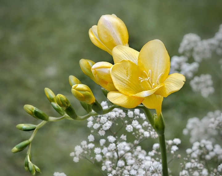 golden passion freesia flower