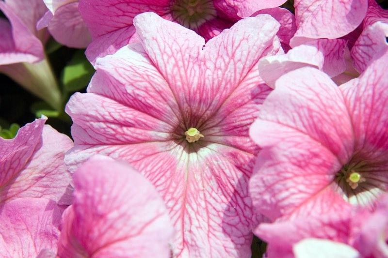 grandiflora petunias