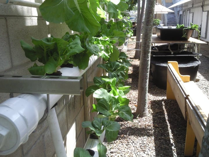 growing leafy greens in an nft aquaponic system