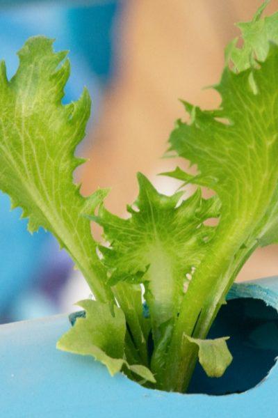 growing lettuce on aquaponics