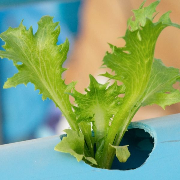 growing lettuce on aquaponics