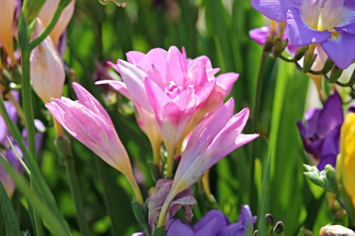 honeymoon freesia flowers