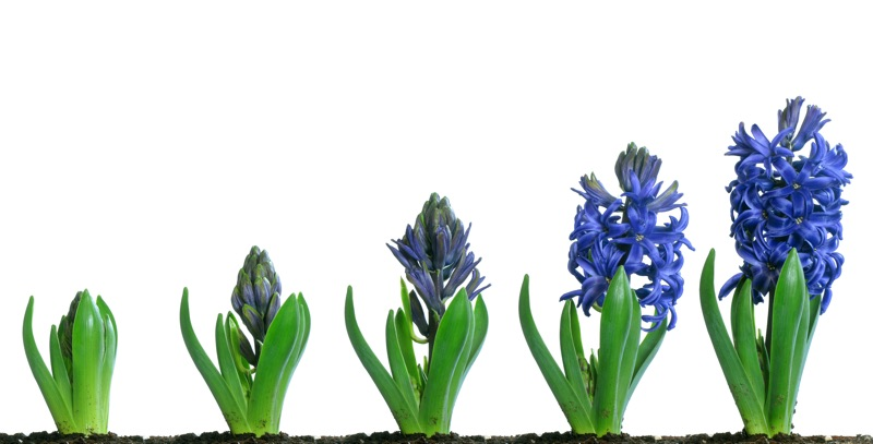 hyacinth from seed