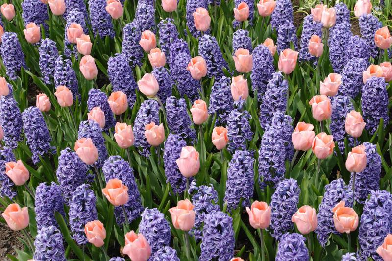 hyacinth meaning