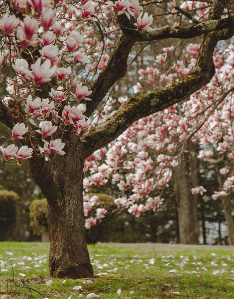 magnolia tree care