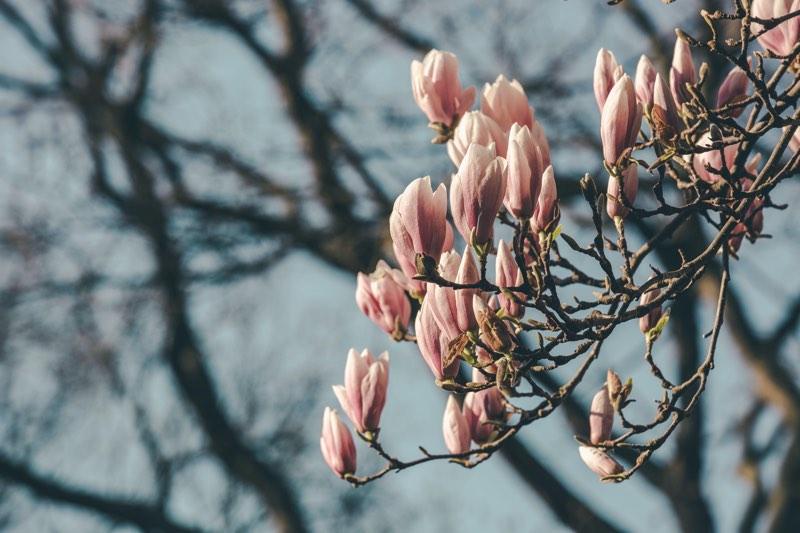 magnolia tree for sale