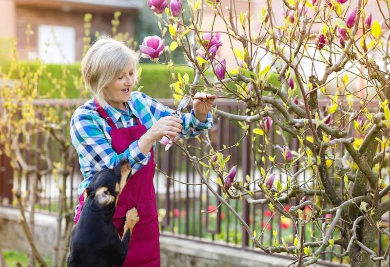 magnolia tree pruning