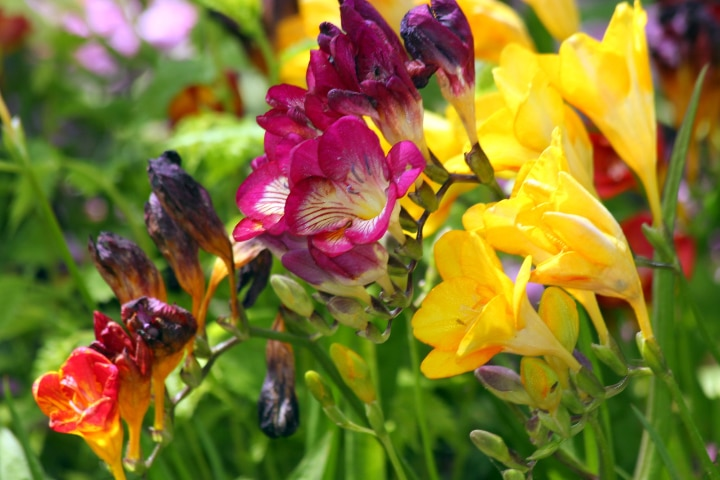 meaning of colorful freesia flowers