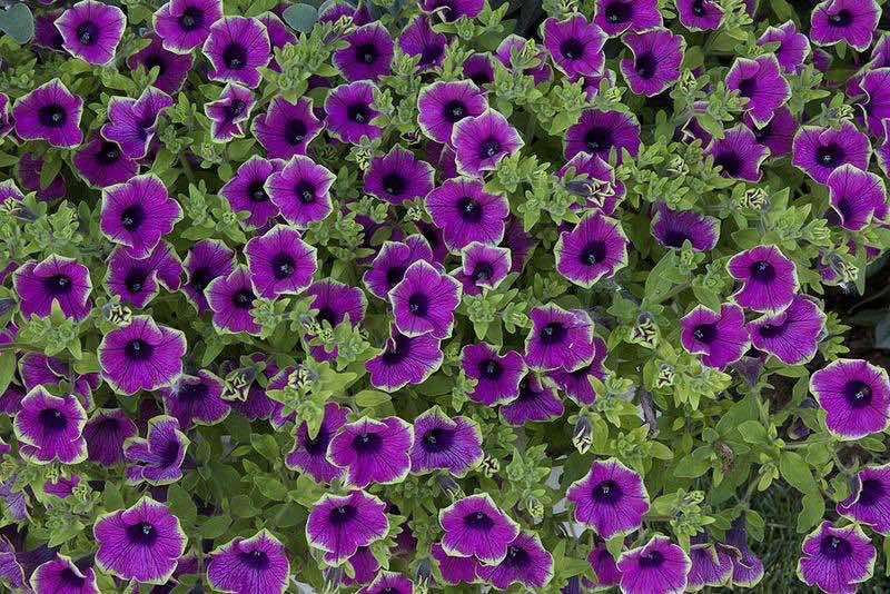 milliflora petunias