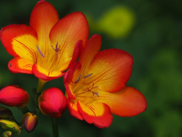 oberon freesia flower
