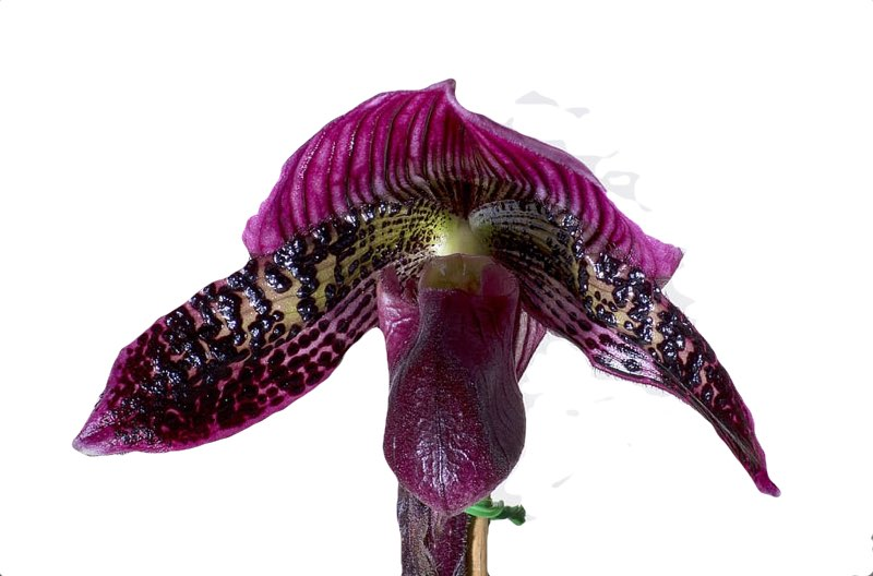 orchids pruning