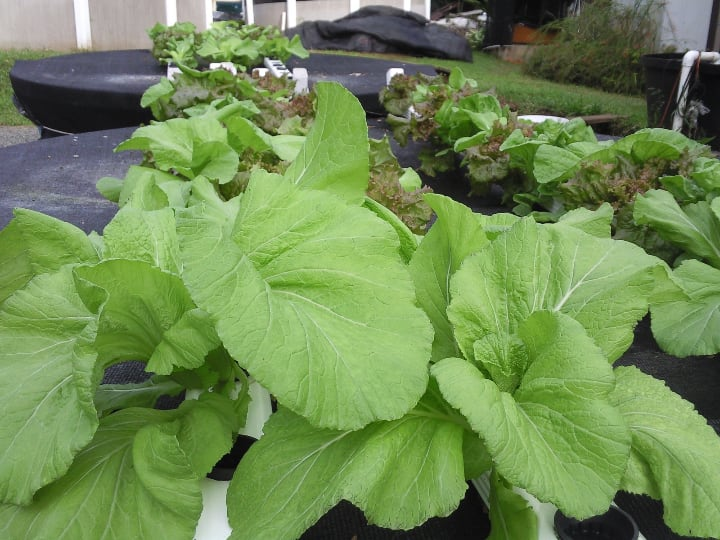 outdoor aquaponic system