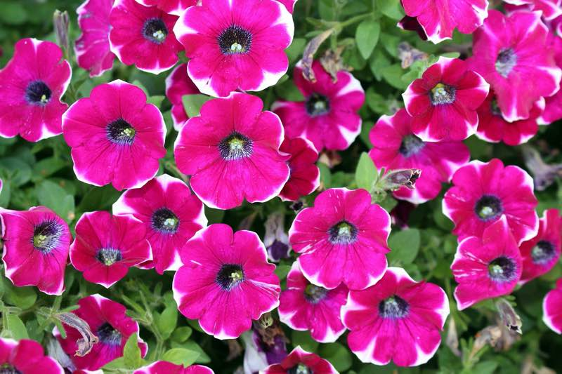 petunias flower care