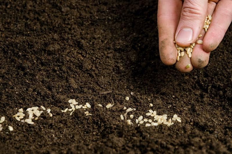 petunias seeds