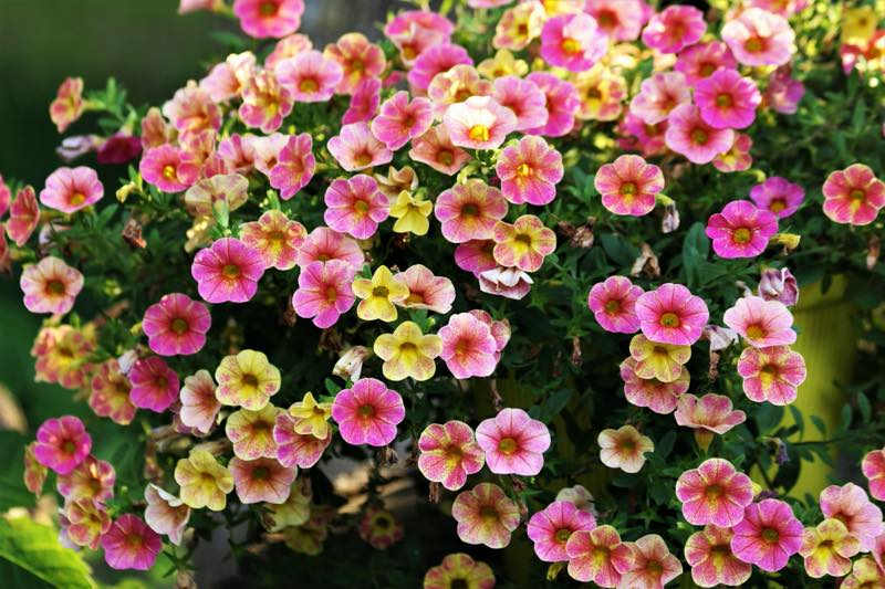 pink and yellow petunias