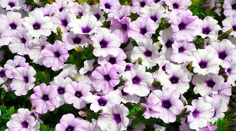 petunia symbolism