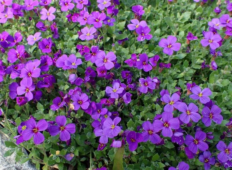 rock cress perennial flower