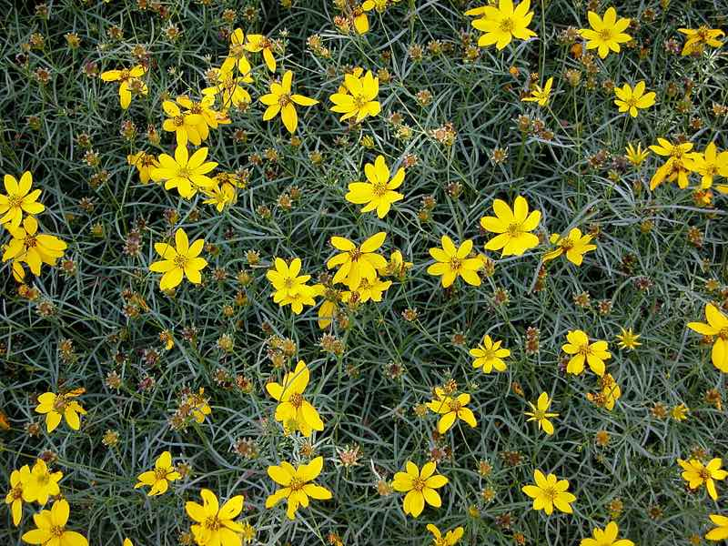 threadleaf coreopsis
