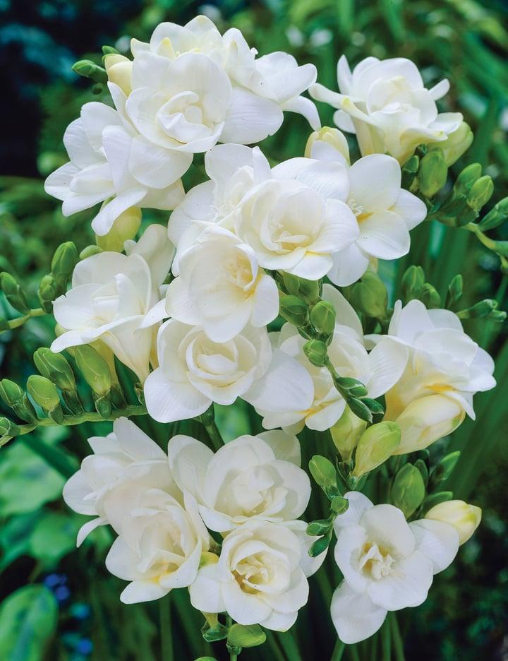Virginia white freesia