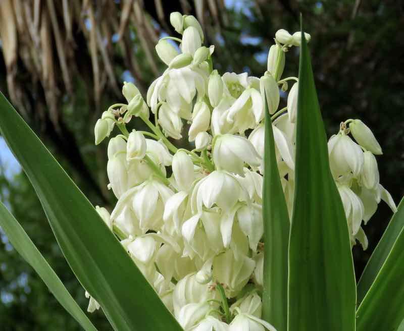 yuccas perennials