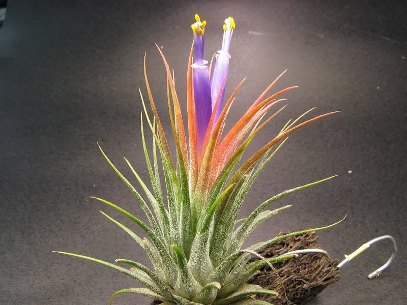 Tillandsia ionantha air plant
