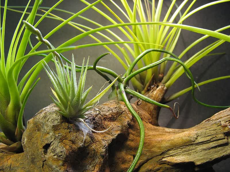 Tillandsia loliacea plant