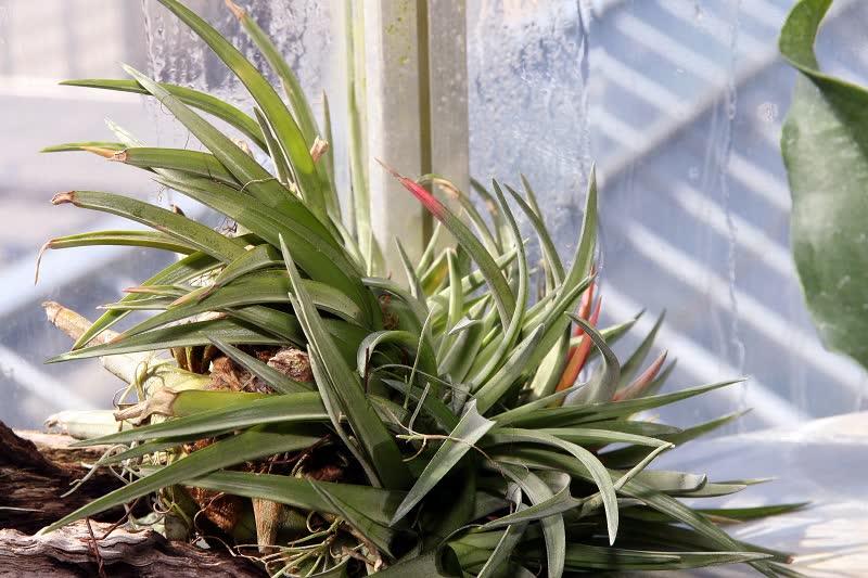air plant Tillandsia brachycaulos