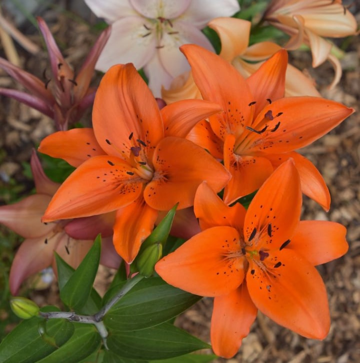 asiatic lily hybrid