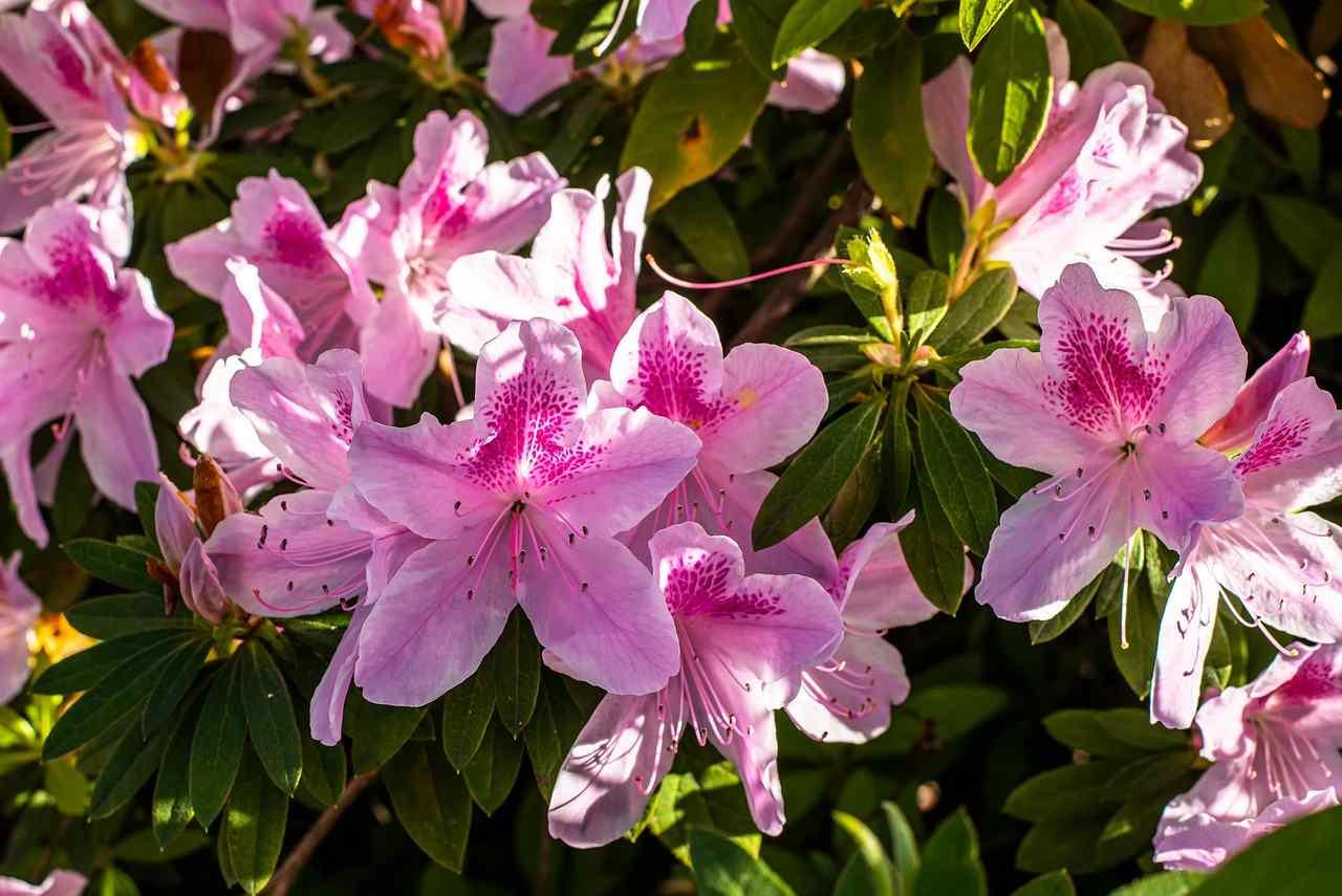 azalea exquisite