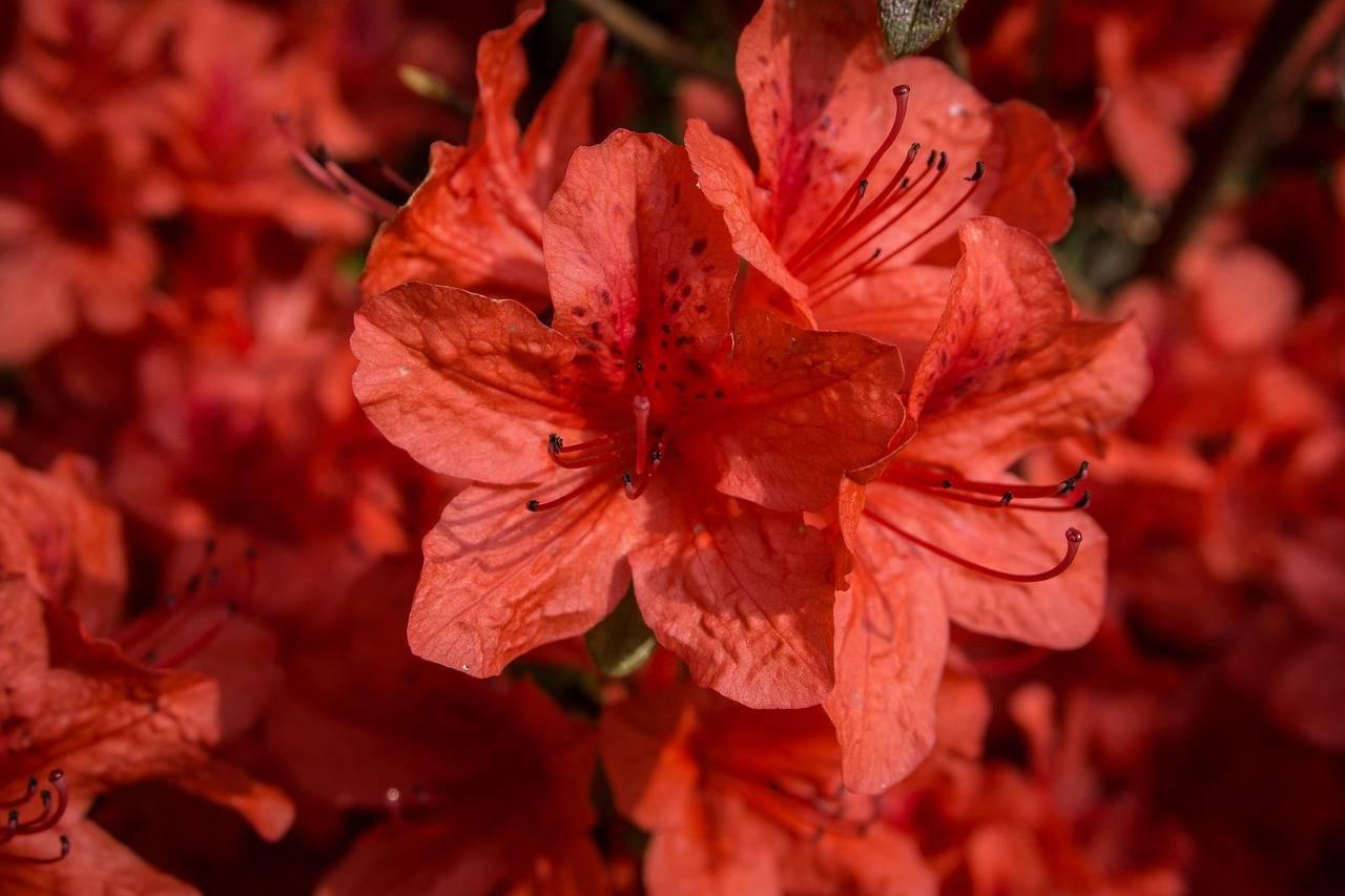 azaleas orange delight