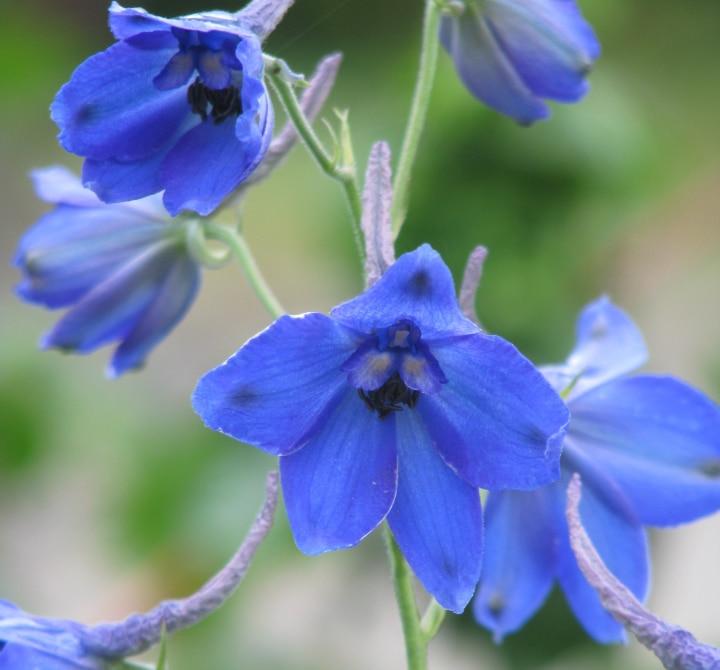 blue bees delphinium