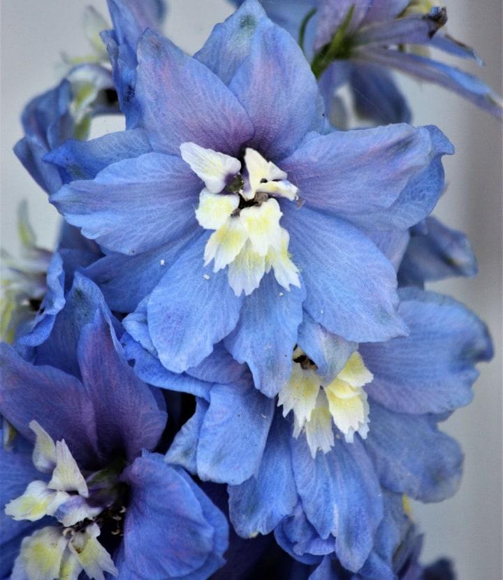 blue nile delphinium