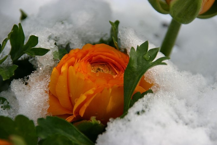 buttercup in snow