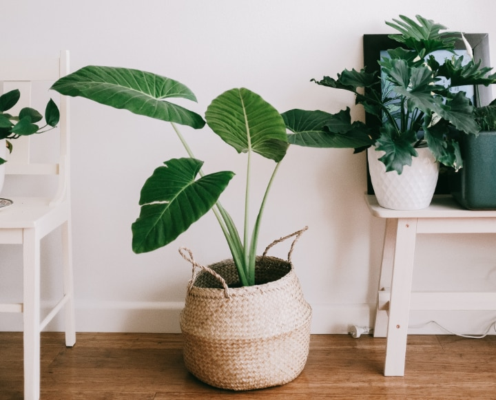 calming indoor plants