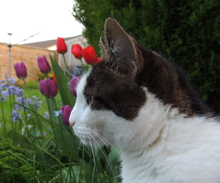 cat and tulips in the garden