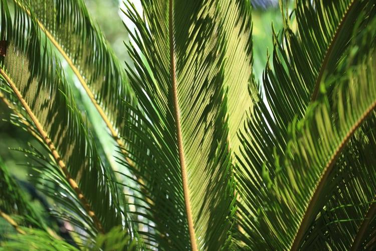 cat toxic sago palm plant