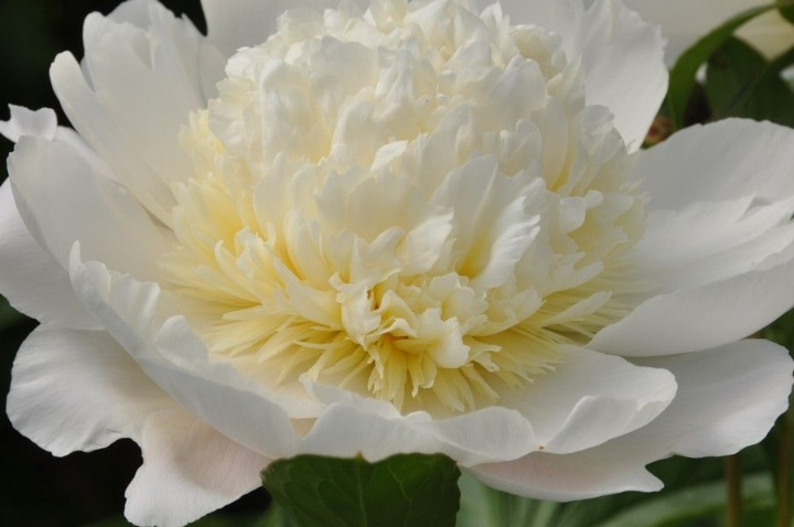 charlies white peony