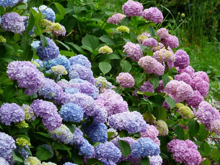 colorful hydrangeas and meanings
