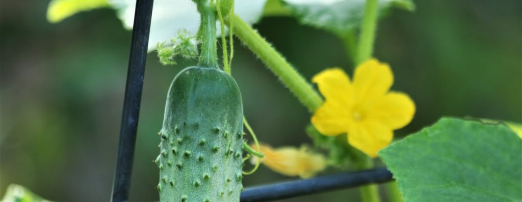 cucumber plant on trellis
