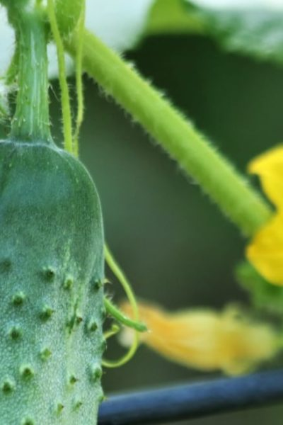 cucumber plant on trellis