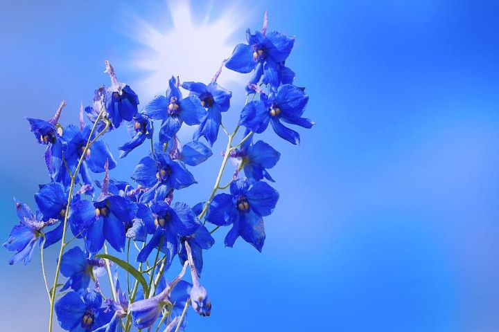 delphinium under the sun