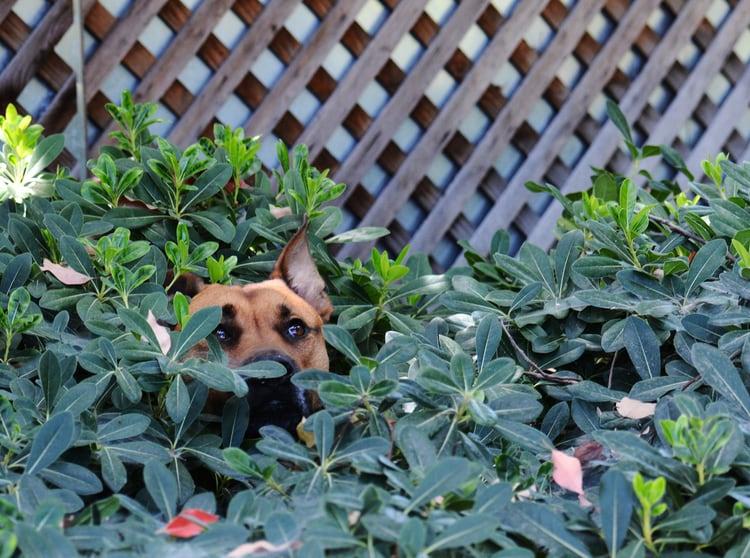 dog in the garden hiding
