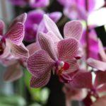 dog safe moth orchids plants