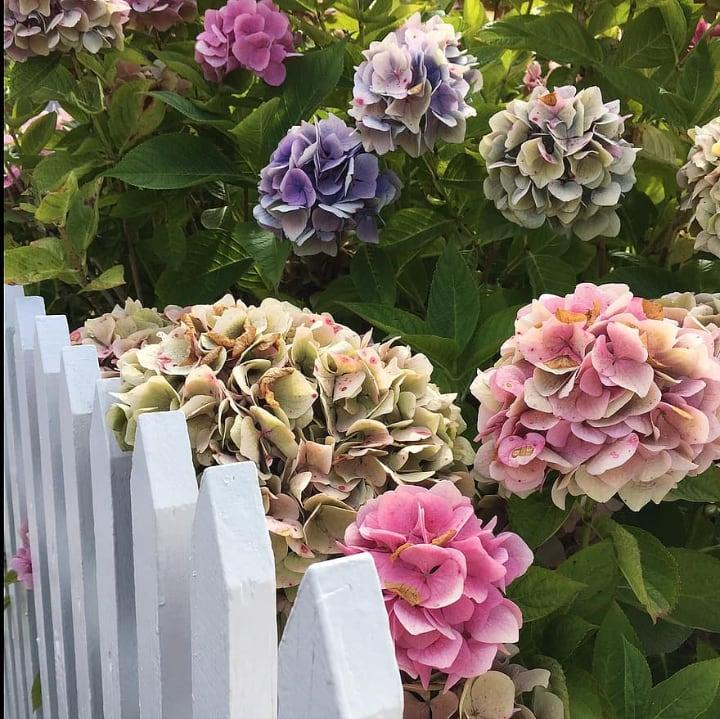 fenced hydrangeas