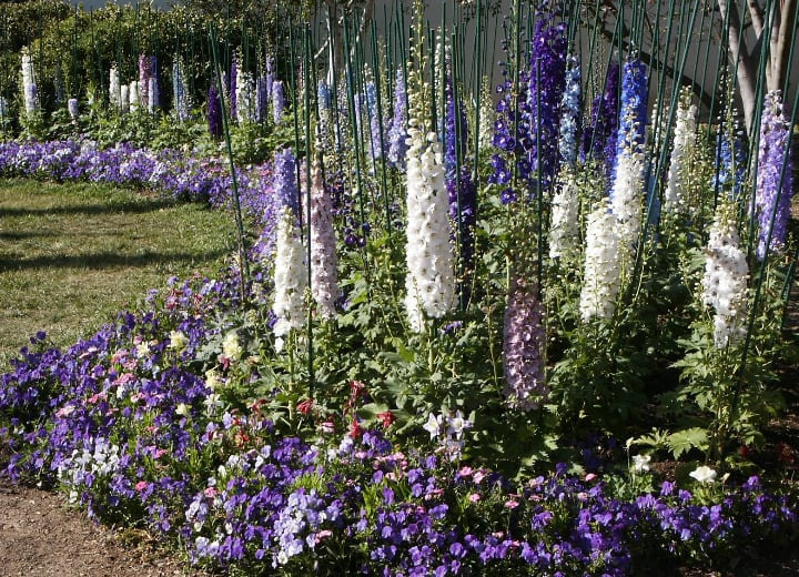 garden filled with colorful delphiniums