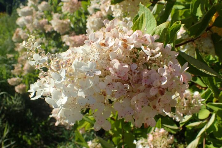 grandiflora panicle hydrangea