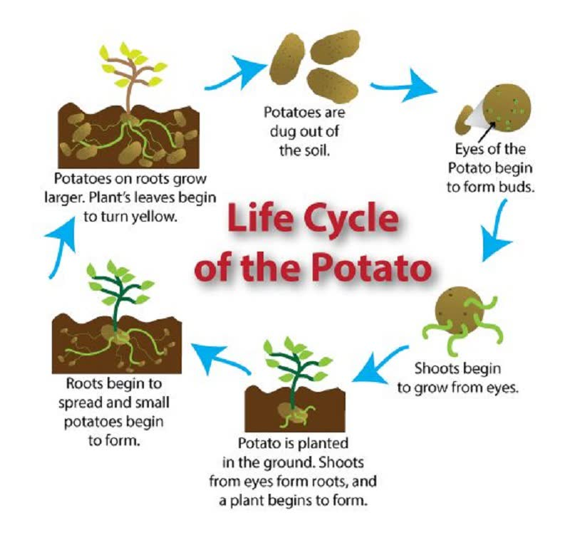 how to grow potato plant