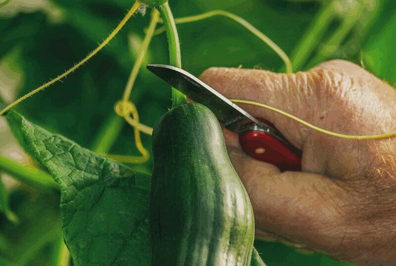 harvest cucumber
